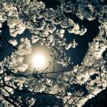 Abbotsford_Nocturne_Blossoms_-5
