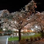 Abbotsford_Nocturne_Blossoms_-6