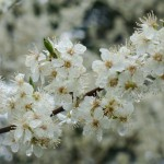 Wallace_Koopmans_Blossom_-1
