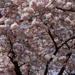 Wallace_Koopmans_Blossom_-11