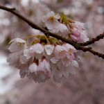 Wallace_Koopmans_Blossom_-3