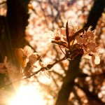 Wallace_Koopmans_Blossom_-6
