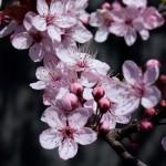 Wallace_Koopmans_Blossom_-8