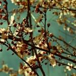 Wallace_Koopmans_Blossom_-9