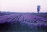 LomochromePurple_May2015_029